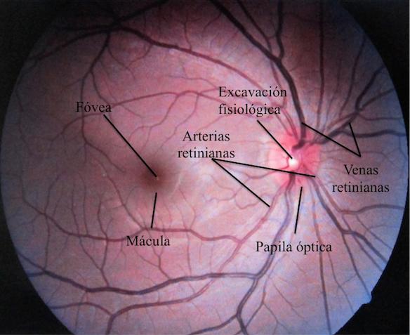 07a4daa4e7 Fondo de ojo normal (ojo derecho). Foto realizada por medio de un angiógrafo