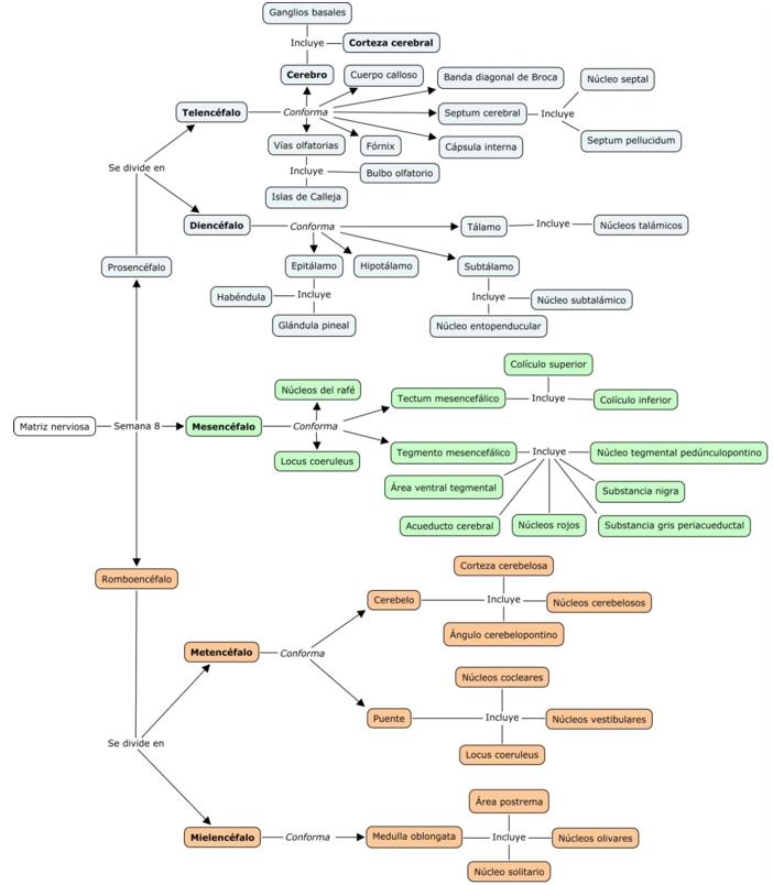Desarrollo neuroembriológico: el camino desde la proliferación hasta ...